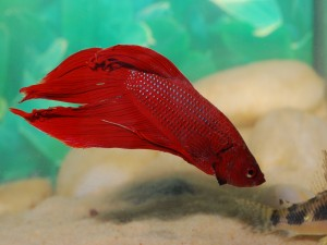 Betta Splendens (luchador de Siam) de color rojo
