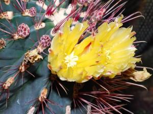 Postal: Flores de cactus amarillas