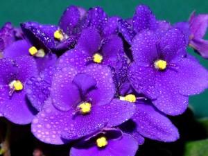 Postal: Violetas africanas (Saintpaulia) con gotas de agua