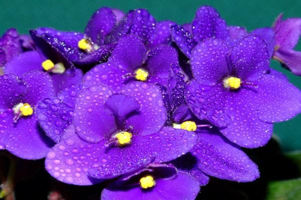 Violetas africanas (Saintpaulia) con gotas de agua