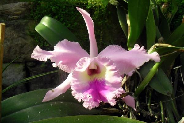 Una orquídea de color rosa claro