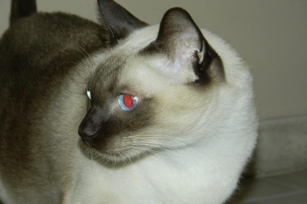 Gato siamés con los ojos azules y rojos