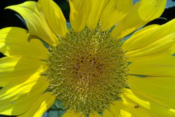 La flor del girasol