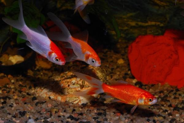 Grupo de peces rojos comunes (Goldfish)