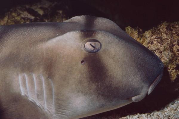 Cabeza de tiburón de Port Jackson (Heterodontus portusjacksoni)