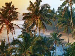 Postal: Palmeras en la costa de Kauai (islas Hawái)