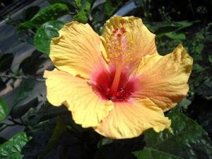 Postal: Una hermosa flor de obelisco (Hibiscus)