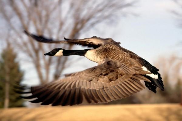 Un pato volando