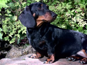 Postal: Dachshund (perro salchicha) de color negro