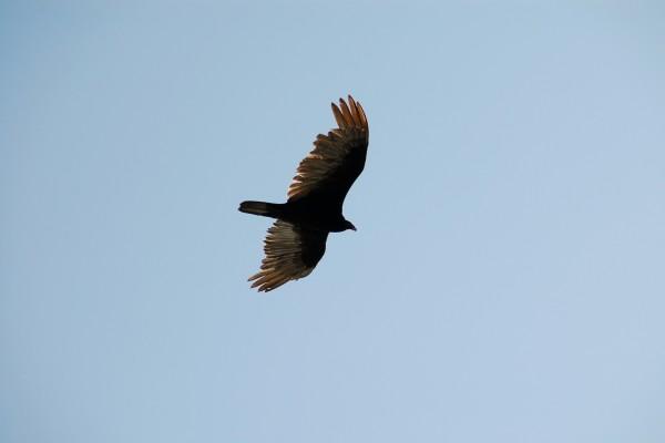 Águila surcando el cielo