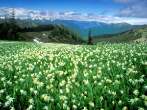 Postal: Campo de flores en el Parque nacional Olympic, Washington, Estados Unidos