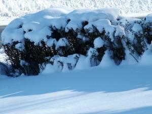 Postal: Nieve sobre unos arbustos