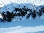 Nieve sobre unos arbustos