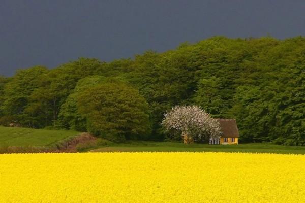 Cabaña en un campo amarillo