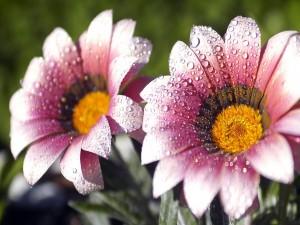 El rocío de la mañana sobre unas flores