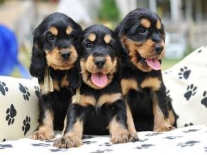 Tres cachorros de colores negro y marrón