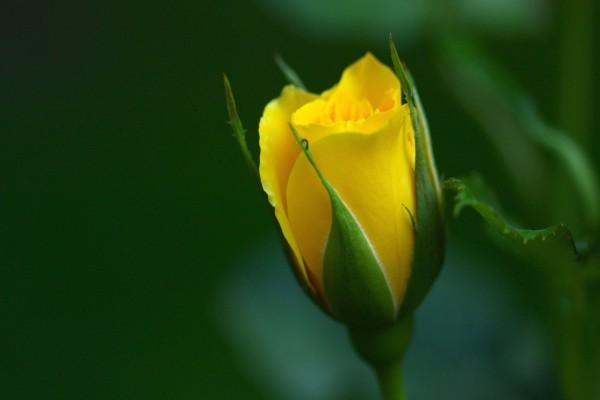 Pimpollo de rosa amarillo