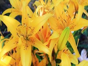 Postal: Lilium amarillos