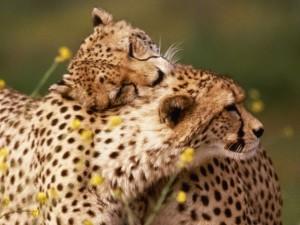 Postal: Amor entre guepardos