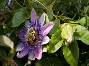 Postal: Flor de la pasión (Passiflora)