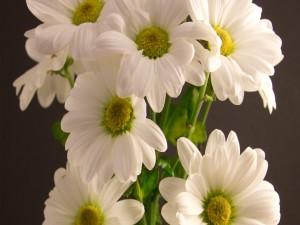 Postal: Flamantes margaritas blancas