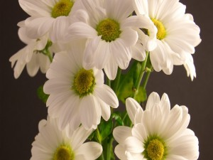 Flamantes margaritas blancas