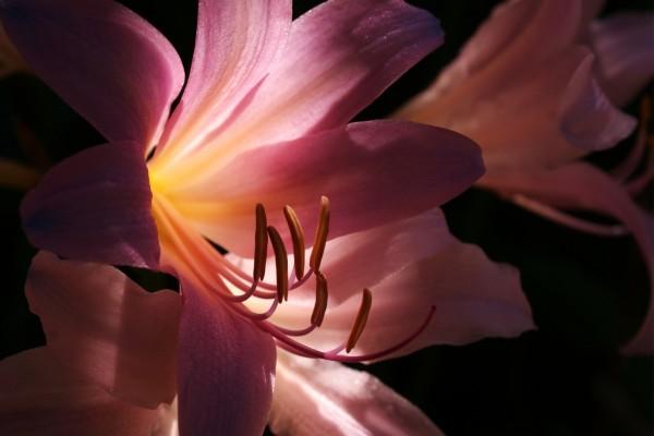 Lilium rosado