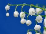 Florecillas blancas bañadas de rocío