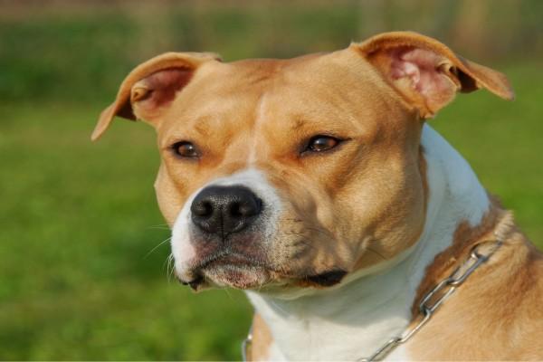 American Staffordshire Terrier (Amstaff)