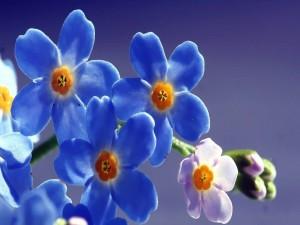 Flores de Nomeolvides (Myosotis)