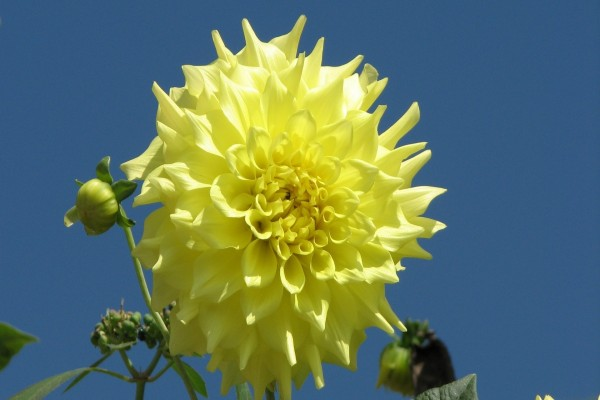 Dalia amarilla