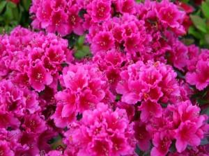 Postal: Azaleas rosas