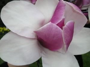 Una delicada magnolia