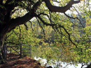 Postal: Árbol a orillas de un río