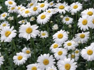 Postal: La más sencilla de las flores: la margarita