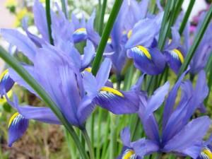 Lirio español (Iris xiphium)