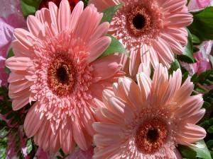 Postal: Gerberas de color rosa