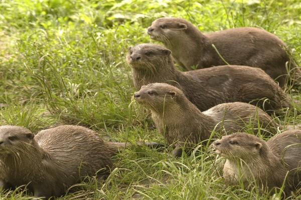 Grupo de nutrias