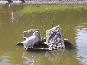 Postal: Un pato blanco