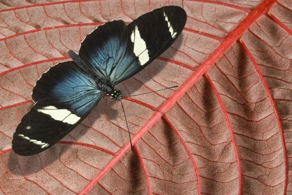 "Mariposa ""Heliconius sara"""