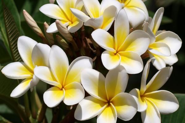 Plumeria (o Plumaria)