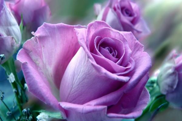 Rosas con pétalos lilas