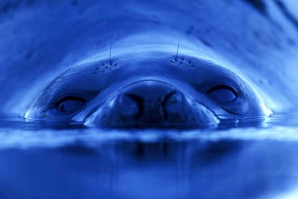 Una foca asomando el hocico