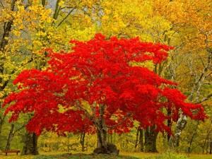 Postal: Árbol de hojas rojas en Newhalem, Washington