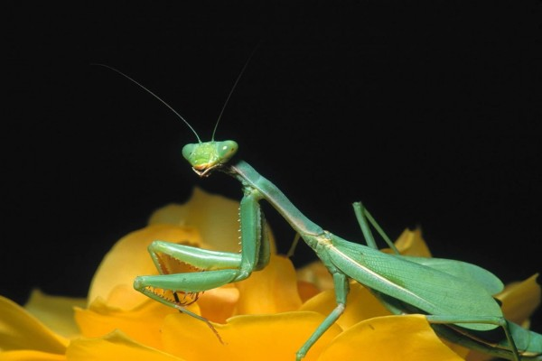 Mantis sobre una rosa amarilla