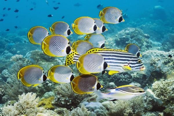 Peces mariposa de Bali (Indonesia)