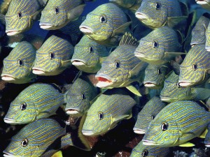 Banco de peces amarillos con rayas azules