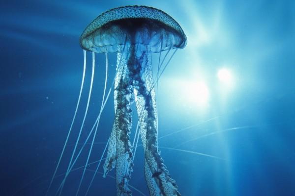 Medusa en un mar azul