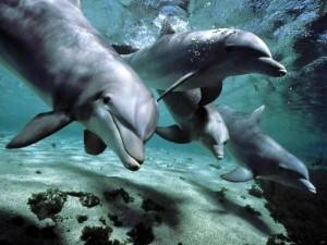 Cuatro delfines nadando juntos