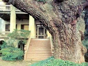 Postal: Un tronco centenario